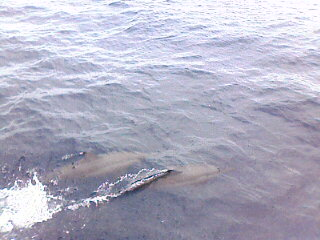 Dolphins off Iru Fishi island, Maldives